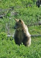20110607_nr_engos_cas_grizzly_mortality.jpg