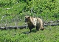 20111000_ar_awa_update_grizzlies_wilson.jpg