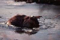 20121000_ar_wla_beavers_biodiversity_wetlands_ghood.jpg