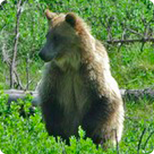 Highwood Grizzly Bear