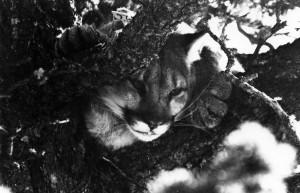 Cougar. Photo: V. Pharis.