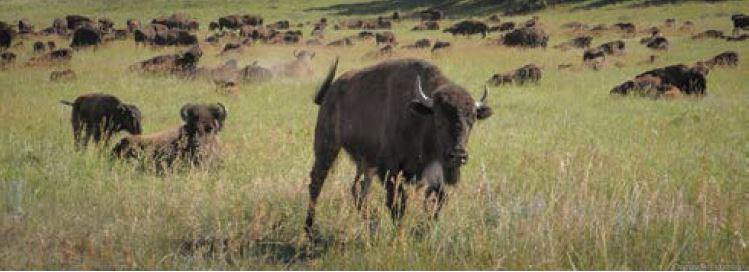 20150600_bison_pic.JPG