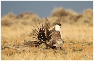 20150603_nr_endangered sage-grouse numbers on the rise.jpg
