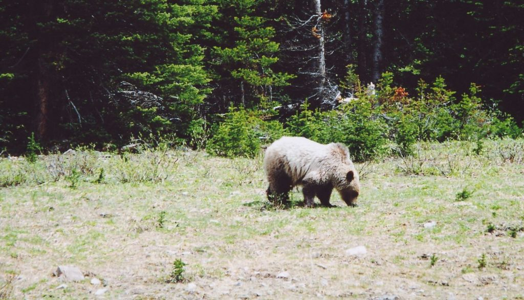 20050601_grizzly2_highwood_kananaskis_rdouglas
