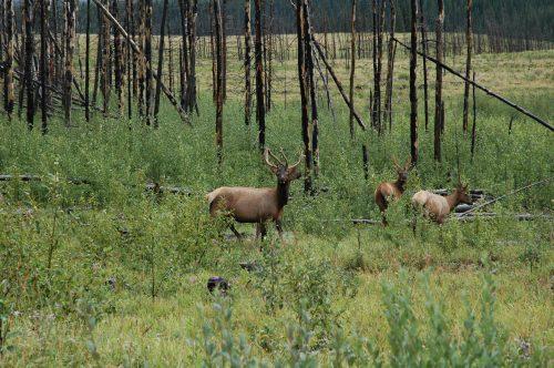 Bighorn - Alberta Wilderness Association