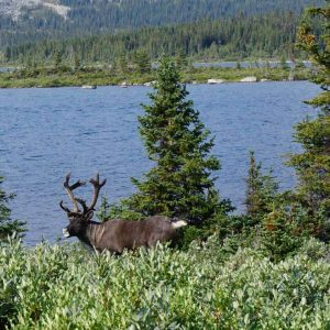 Woodland caribou. Photo © Alberta Wilderness Association.