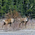 Mountain caribou, Jasper National Park, Alberta. Photo © John E. Marriott