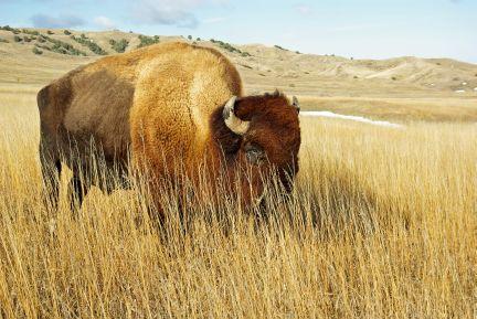 Plains bison (C.Olson)