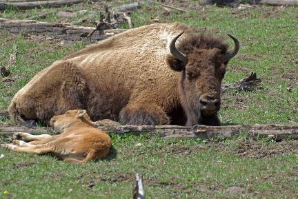 Plains bison and calf (C.Olson)