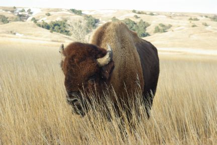 Plains bison (C.Olson)
