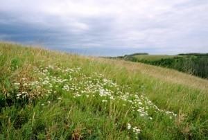 Native Grasses near Coronation