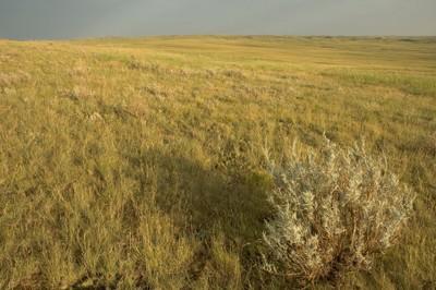 Sage Bush, Middle Sand Hills