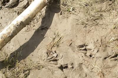 Beaver tracks along the Red Deer River