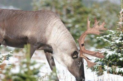 Woodland caribou (P. Sutherland)