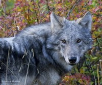 Wolves-AR-01.jpg